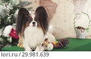 Купить «Papillon dog with soft toys near Christmas tree stock footage video», видеоролик № 29981639, снято 27 декабря 2018 г. (c) Юлия Машкова / Фотобанк Лори