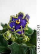 Купить «Сортовая Узамбарская фиалка - Saintpaulia (African violet )», фото № 29990699, снято 22 мая 2019 г. (c) ElenArt / Фотобанк Лори