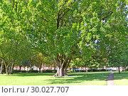 Огромный дуб черешчатый  (Quercus robur L.) в сквере. Потсдам, Германия. Стоковое фото, фотограф Ирина Борсученко / Фотобанк Лори