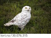 Купить «Snowy Owl - Bubo scandiacus», фото № 30076315, снято 18 июля 2013 г. (c) Сергей Лаврентьев / Фотобанк Лори