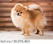 Купить «Portrait Pomeranian dog», фото № 30076463, снято 24 октября 2013 г. (c) Сергей Лаврентьев / Фотобанк Лори