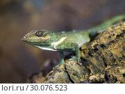 Knight anole Green lizard. Стоковое фото, фотограф Сергей Лаврентьев / Фотобанк Лори