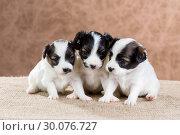 Купить «Three small puppy Papillon», фото № 30076727, снято 24 октября 2013 г. (c) Сергей Лаврентьев / Фотобанк Лори