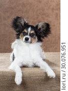 Купить «Cute Papillon puppy», фото № 30076951, снято 24 октября 2013 г. (c) Сергей Лаврентьев / Фотобанк Лори