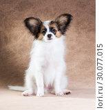 Купить «Cute Papillon puppy», фото № 30077015, снято 6 января 2014 г. (c) Сергей Лаврентьев / Фотобанк Лори