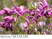 Купить «Пурпурные цветы  магнолии лилиецветной (Magnolia liliiflora Desr.) крупным планом», фото № 30119155, снято 3 мая 2016 г. (c) Ирина Борсученко / Фотобанк Лори
