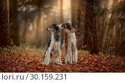 Купить «Russian borzoi dogs portrait in an autumn park», фото № 30159231, снято 20 октября 2018 г. (c) Julia Shepeleva / Фотобанк Лори