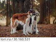 Купить «Russian borzoi dogs portrait in an autumn park», фото № 30160531, снято 23 октября 2016 г. (c) Julia Shepeleva / Фотобанк Лори