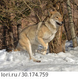 Купить «Portrait of Eurasian wolf (Canis lupus lupus) on snow in winter. Fun game», фото № 30174759, снято 17 февраля 2019 г. (c) Валерия Попова / Фотобанк Лори