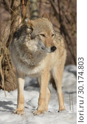 Купить «Portrait of one-eared wolf (Canis lupus lupus) (female) in winter», фото № 30174803, снято 17 февраля 2019 г. (c) Валерия Попова / Фотобанк Лори