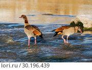 Купить «A pair of Egyptian geese fishing in the river», фото № 30196439, снято 13 февраля 2019 г. (c) Наталья Волкова / Фотобанк Лори