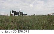 Купить «Black Thoroughbred Elegant Horses Graze In A Meadow Eating Warm Grass», видеоролик № 30196671, снято 3 октября 2018 г. (c) Pavel Biryukov / Фотобанк Лори