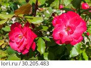 Купить «Summer flower landscape. Rose flowers in the garden, closeup. Summer flower of red roses», фото № 30205483, снято 12 августа 2016 г. (c) Зезелина Марина / Фотобанк Лори