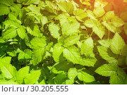 Купить «Nature background. Leaves of bishop's weed, in Latin Aegopodium podagraria under soft sunlight», фото № 30205555, снято 17 августа 2018 г. (c) Зезелина Марина / Фотобанк Лори