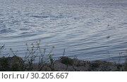 Вечер на лимане. Береговые ласточки летают низко над водой. Стоковое видео, видеограф Олег Хархан / Фотобанк Лори