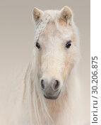 Купить «Портрет соловой американской миниатюрной лошади», фото № 30206875, снято 21 ноября 2018 г. (c) Абрамова Ксения / Фотобанк Лори