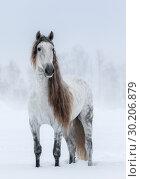 Серая лошадь с длинной гривой стоит в снегу. Стоковое фото, фотограф Абрамова Ксения / Фотобанк Лори