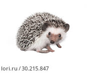 African pygmy hedgehog isolated on white background. Стоковое фото, фотограф Евгения Литовченко / Фотобанк Лори