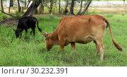 Купить «Cows grazing on a green meadow», видеоролик № 30232391, снято 3 марта 2019 г. (c) Ekaterina Demidova / Фотобанк Лори