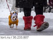 Хозяйка выгуливает собаку породы чихуахуа во время снегопада в городском парке (2019 год). Редакционное фото, фотограф Николай Винокуров / Фотобанк Лори