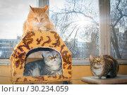 Купить «Three friendly cats lie on the veranda, an American shorthair cat, a cat of the British breed and a Russian Siberian cat.», фото № 30234059, снято 14 марта 2016 г. (c) Акиньшин Владимир / Фотобанк Лори