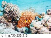 Купить «Clownfish in the coral underwater image in the sea», фото № 30235315, снято 2 марта 2012 г. (c) Сергей Новиков / Фотобанк Лори