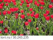 Тюльпаны. Стоковое фото, фотограф Ольга Шевченко / Фотобанк Лори