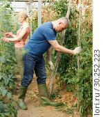 Купить «Male making supports for tomatoes», фото № 30252223, снято 5 июля 2018 г. (c) Яков Филимонов / Фотобанк Лори