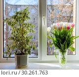 Купить «Фикус в горшке и букет тюльпанов стоят на окне», эксклюзивное фото № 30261763, снято 18 февраля 2019 г. (c) Игорь Низов / Фотобанк Лори