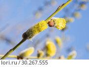 Купить «Цветущая ива козья (Salix caprea). Мужское соцветие», фото № 30267555, снято 12 апреля 2016 г. (c) Алёшина Оксана / Фотобанк Лори