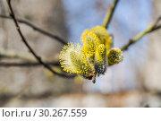 Мужские соцветия ивы козьей (Salix caprea) Стоковое фото, фотограф Алёшина Оксана / Фотобанк Лори