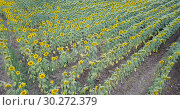 Купить «Image of field of sunflowers at sunny day, top view of landscape», видеоролик № 30272379, снято 25 августа 2018 г. (c) Яков Филимонов / Фотобанк Лори