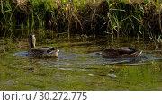 Купить «Mallard duck diving», видеоролик № 30272775, снято 9 марта 2019 г. (c) Игорь Жоров / Фотобанк Лори