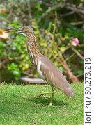 Купить «Индийская желтая цапля с приоткрытым клювом. Indian Pond Heron — Ardeola grayii», фото № 30273219, снято 9 марта 2019 г. (c) Овчинникова Ирина / Фотобанк Лори