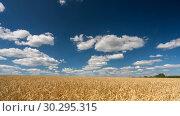 Clouds above the wheat field at sunny day - 4K time lapse. Стоковое видео, видеограф Sergey Borisov / Фотобанк Лори