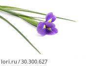 Иридодиктиум, ирис луковичный на белом фоне. Стоковое фото, фотограф Марина Володько / Фотобанк Лори