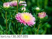 Купить «Астры розовые (Callistephus chinensis)», фото № 30307055, снято 17 сентября 2018 г. (c) Татьяна Белова / Фотобанк Лори