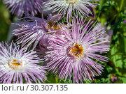 Купить «Астры (Callistephus chinensis)», фото № 30307135, снято 17 сентября 2018 г. (c) Татьяна Белова / Фотобанк Лори