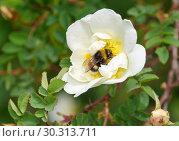 Купить «Шмель на цветке белого шиповника», фото № 30313711, снято 4 июня 2018 г. (c) Елена Коромыслова / Фотобанк Лори