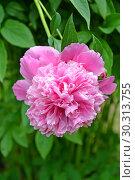 Купить «Крупный цветок пиона (Paeonia L.)», фото № 30313755, снято 1 июня 2016 г. (c) Ирина Борсученко / Фотобанк Лори