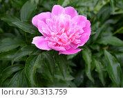 Купить «Крупный розовый цветок пиона (Paeonia L.)», фото № 30313759, снято 2 июня 2016 г. (c) Ирина Борсученко / Фотобанк Лори
