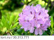 Купить «Соцветие розового рододендрона (Rhododendron L.) крупным планом», фото № 30313771, снято 31 мая 2015 г. (c) Ирина Борсученко / Фотобанк Лори