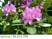 Купить «Цветущий розовый рододендрон (Rhododendron L.)», фото № 30313799, снято 31 мая 2015 г. (c) Ирина Борсученко / Фотобанк Лори