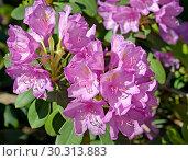 Купить «Цветы розового рододендрона (Rhododendron L.) крупным планом», фото № 30313883, снято 31 мая 2015 г. (c) Ирина Борсученко / Фотобанк Лори
