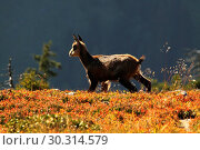 Купить «10870006, Alps, alpine, fauna, Alpine fauna, alpine Chamois, mountains, mountain fauna, mountain world, Bern, Bernese Oberland, Chamois, fauna, chamois...», фото № 30314579, снято 6 сентября 2009 г. (c) age Fotostock / Фотобанк Лори
