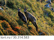 Купить «10870007, Alps, alpine, fauna, Alpine fauna, alpine Chamois, mountains, mountain fauna, mountain world, Bern, Bernese Oberland, Chamois, family, fauna...», фото № 30314583, снято 6 сентября 2009 г. (c) age Fotostock / Фотобанк Лори