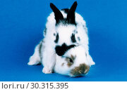 Domestic rabbit Oryctolagus cuniculus f. domestica, copulation attempt. Стоковое фото, фотограф fotototo / age Fotostock / Фотобанк Лори