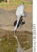 Купить «Demoiselle crane (Grus virgo) drinking  water», фото № 30323911, снято 8 мая 2018 г. (c) Валерия Попова / Фотобанк Лори