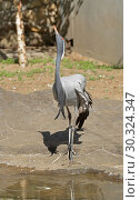 Demoiselle crane (Grus virgo) near pond. Стоковое фото, фотограф Валерия Попова / Фотобанк Лори
