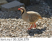 Купить «Rock partridge (Alectoris graeca) is gamebird in pheasant family, Phasianidae, of order Galliformes (gallinaceous birds)», фото № 30324379, снято 8 мая 2018 г. (c) Валерия Попова / Фотобанк Лори